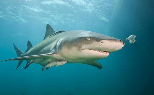 Lemon shark with remora in shallow waters of the Bahamas