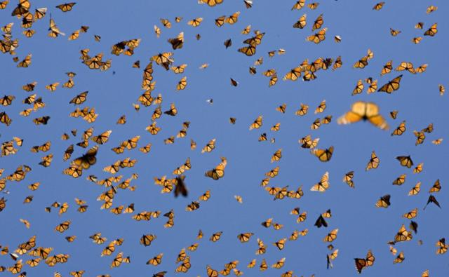 A mass of monarch butterflies flying