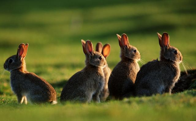 Group Of Rabbits 66
