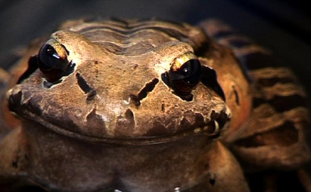 Close-up of a mountain chicken frog