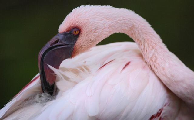 A lesser flamingo preens its feathers with its large hooked beak