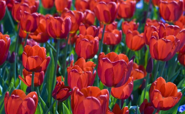 Field of red tulips