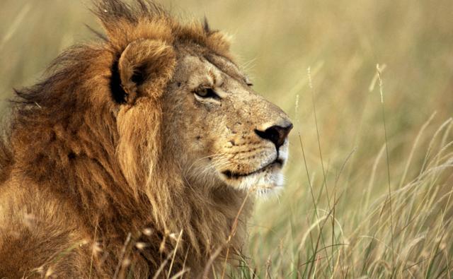 Lion sitting profile - photo#27