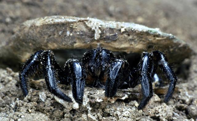 A trapdoor spider emerging from its burrow