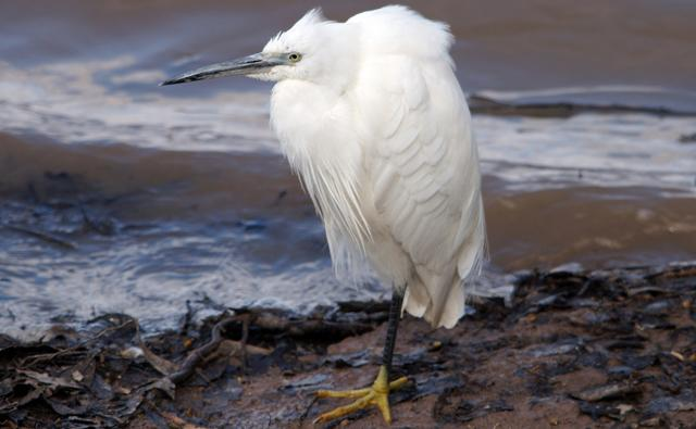 Little egret wading in a lake