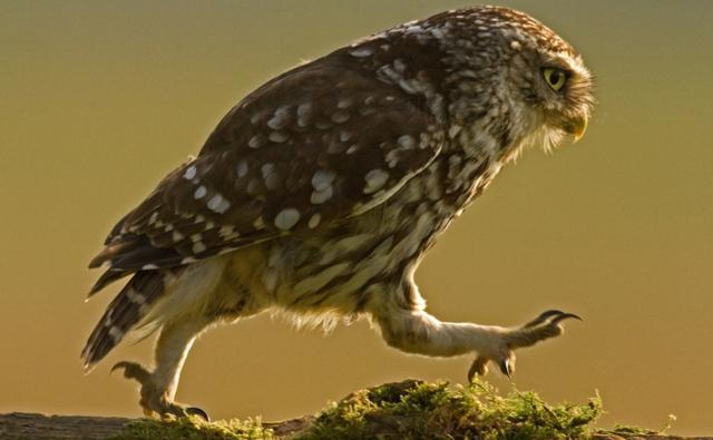 Little owl walking along a log (c) Russell Savory