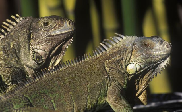 A pair of iguanas