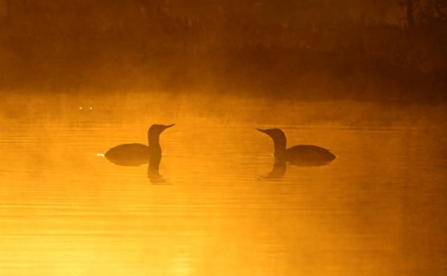 Two divers on a lake at sunset