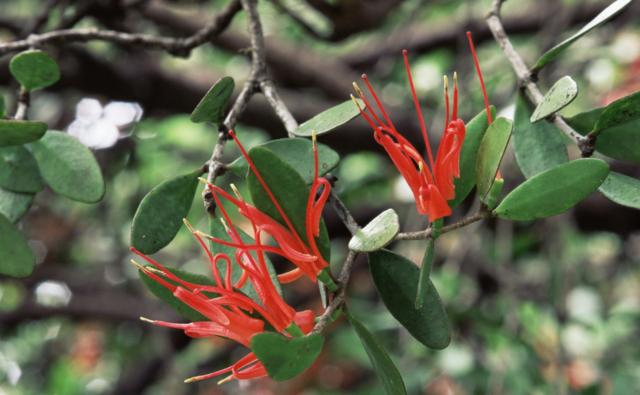 Box mistletoe flowers