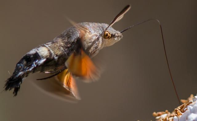 Hummingbird hawk-moth feeding from flower (c) Bob Hopkins
