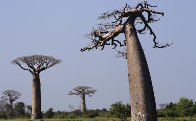 Baobab trees in rice fields of Madagascar