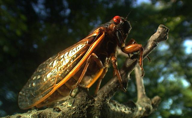 A cicada swarm covering a tree