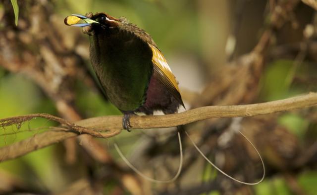 Male magnificent bird of paradise perched with fruit