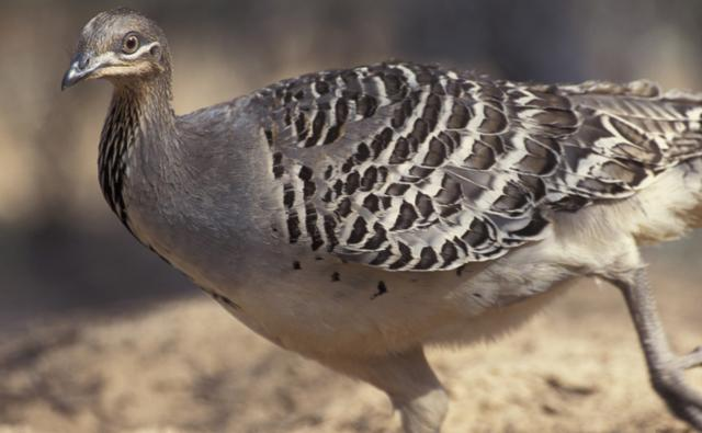 Mallee fowl on nest mound