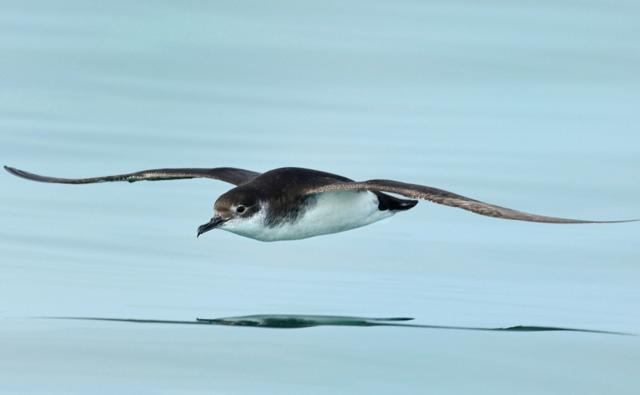 Manx shearwater in flight over water (c) Shane Jones