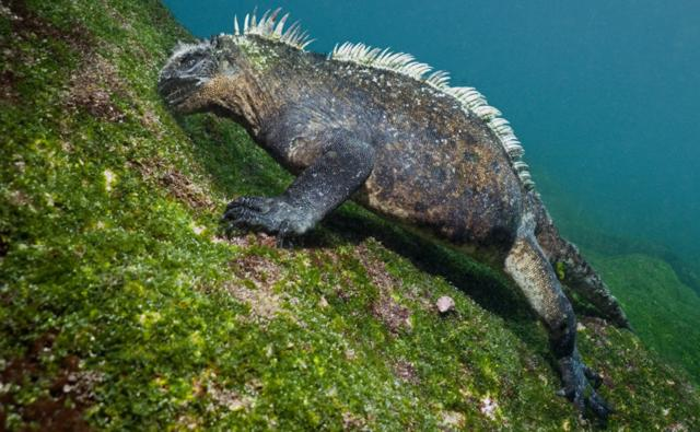 Marine iguana feeding on underwater algae