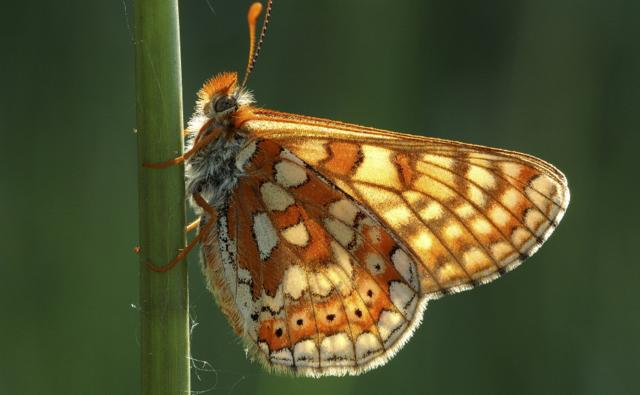 Marsh fritillary clinging to a stem