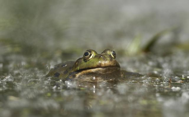 Marsh frog submerged in water
