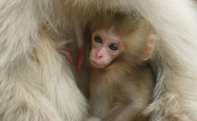 Japanese macaque cuddling her two-week-old baby