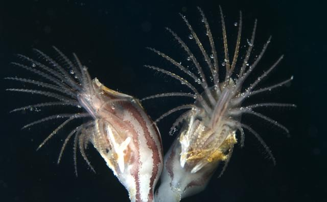 Two goose-neck barnacles