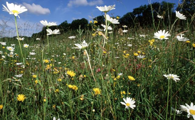 Wildflowers amongst grass in a meadow