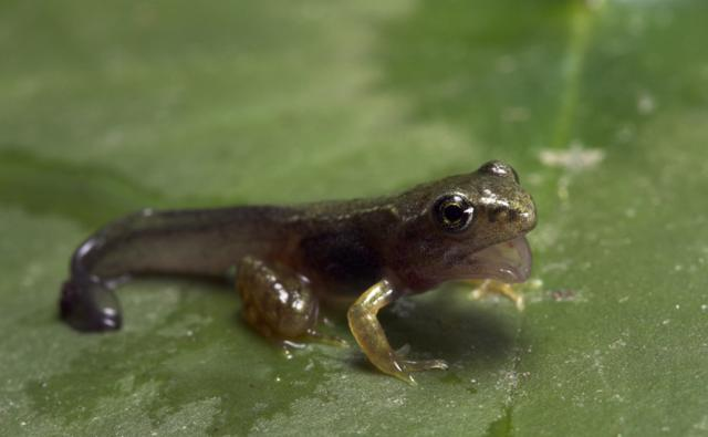 Tadpole sitting on a leaf