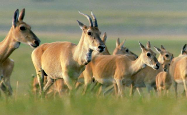 Herd of Mongolian gazelle