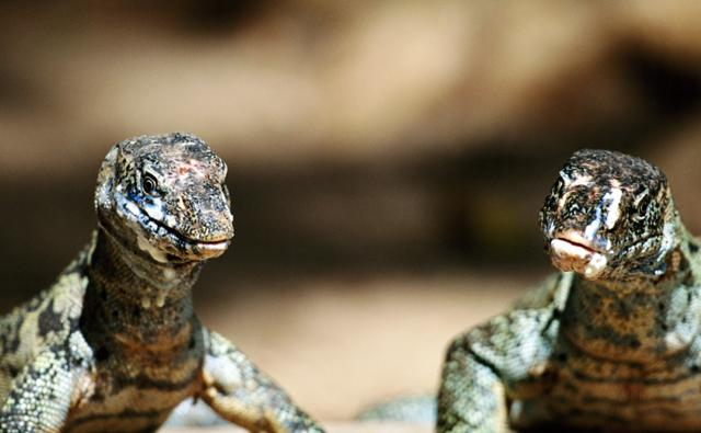 A close-up of two monitor lizards
