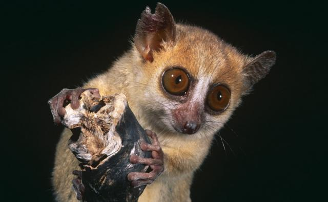 Portrait of a russet mouse lemur holding on to a branch