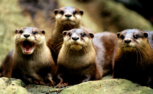A small group of oriental clawed otters facing the camera