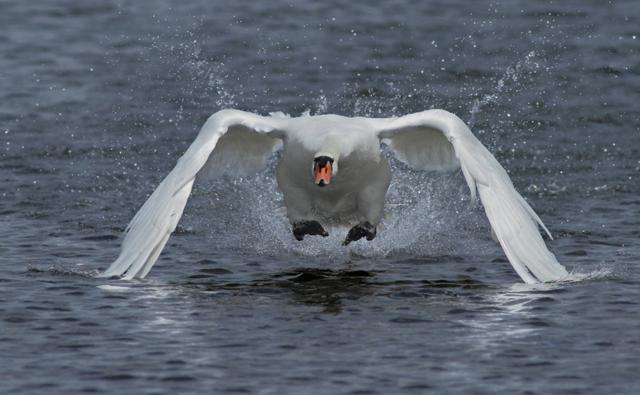 Mute swan getting airborne (c) Andy Berry