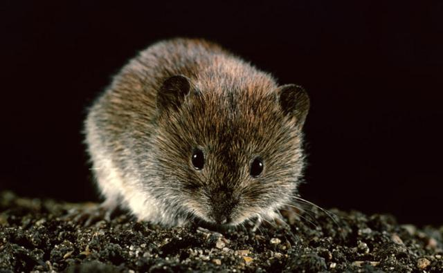 A bank vole
