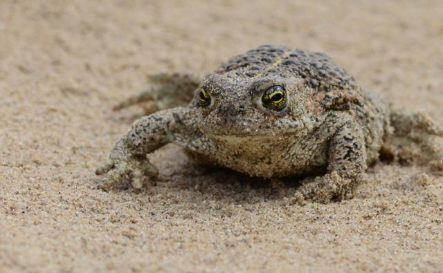 A natterjack toad