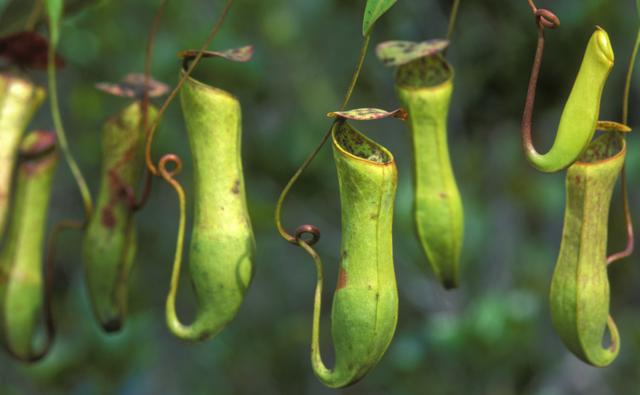 Aerial pitcher plants in Borneo