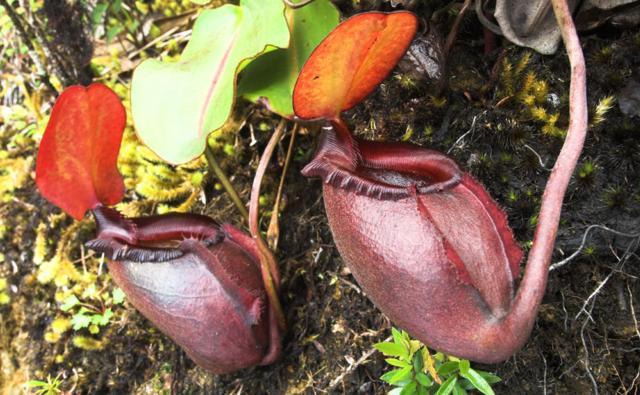 A pitcher plant in Borneo