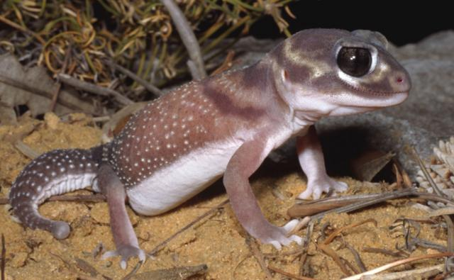 A female knob-tailed gecko on sandy ground