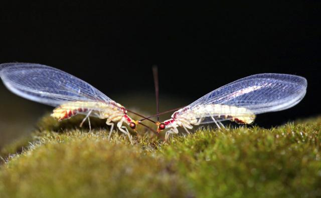 Two lacewings feeding on moss