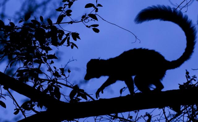 A red-fronted brown lemur climbs on a tree at night