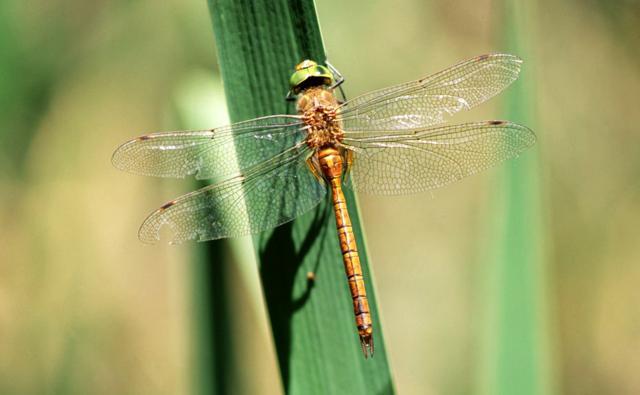 A male Norfolk hawker dragonfly