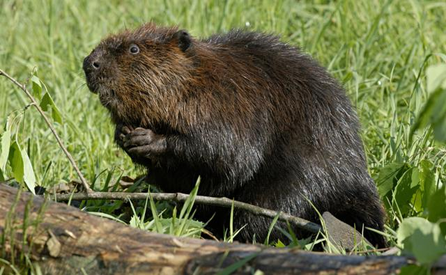 American beaver on a grassy shoreline