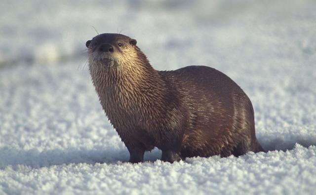 Chesapeake Bay River Otters http://wanderraupen.de/_alt/river-otter-facts