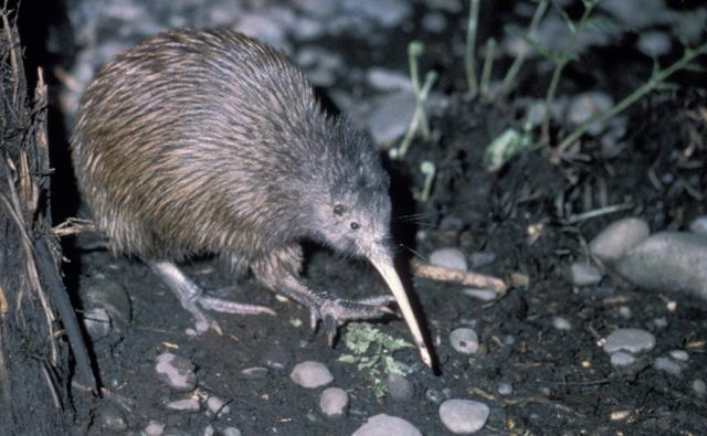 Brown kiwi walking on ground