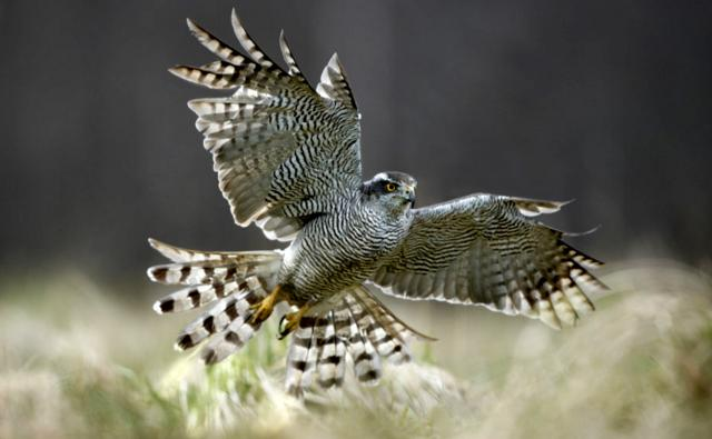 A female northern goshawk flying