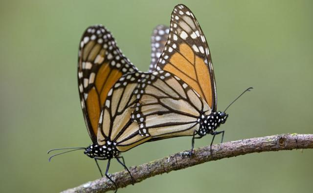 A pair of monarch butterflies mating on a branch
