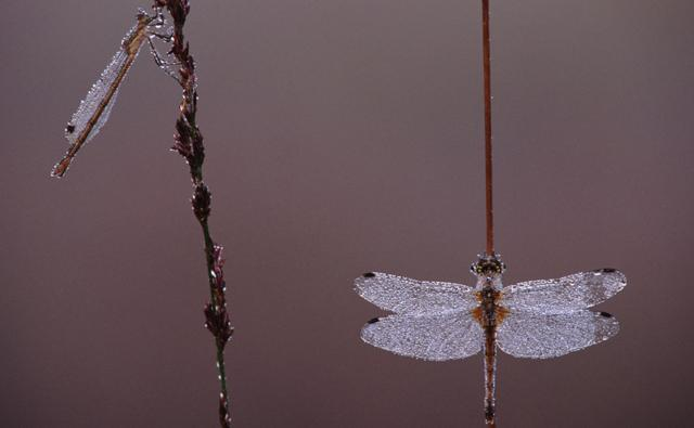 A dragonfly and a damselfly resting on reed stems