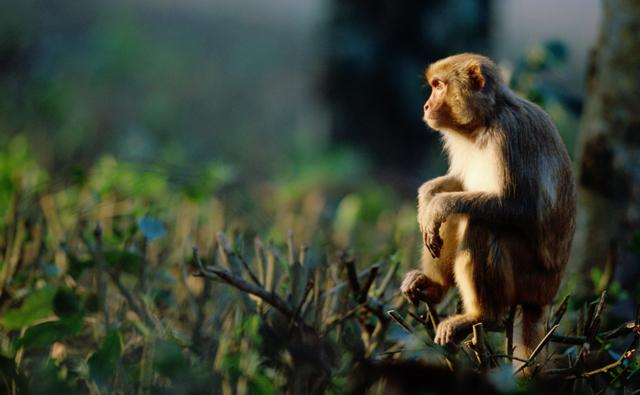 Assamese macaque sitting on tree vegetation
