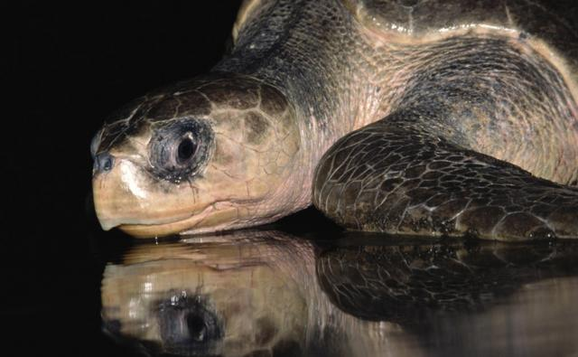 Olive ridley turtle on wet sand with a reflection of the turtle visible
