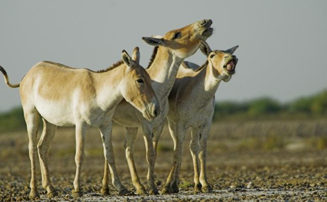 Three Asiatic wild asses