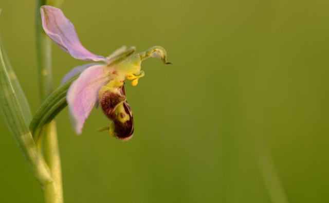 A bee orchid (c) Ben Andrew