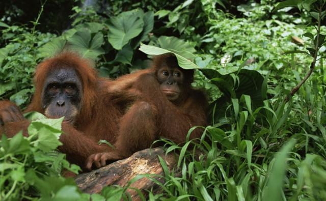Female Sumatran orangutan and young in the undergrowth